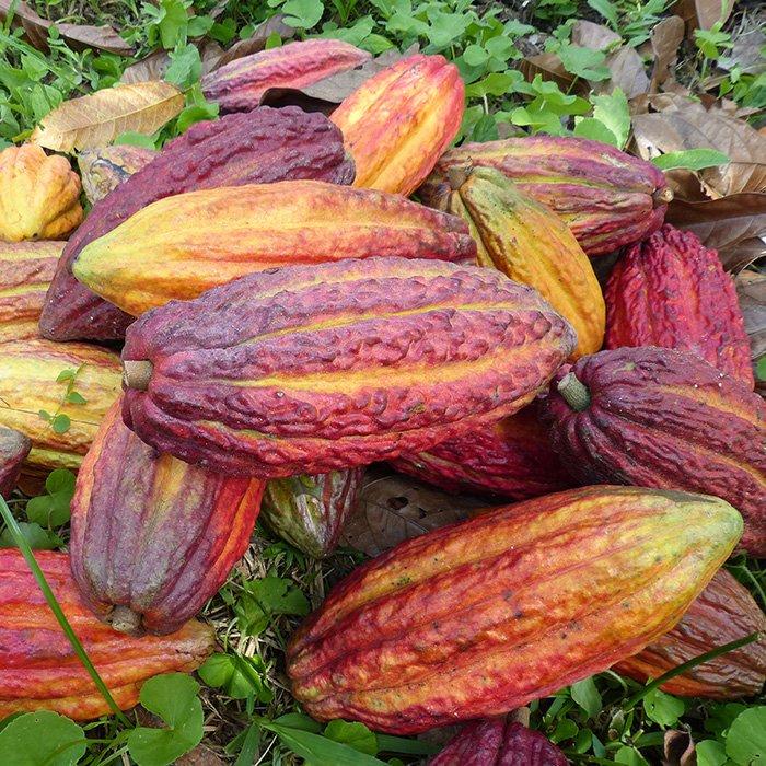 cabosses-chocolat-artisanal